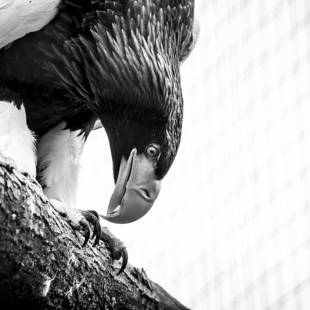 """Eagle black and white"" stock image"