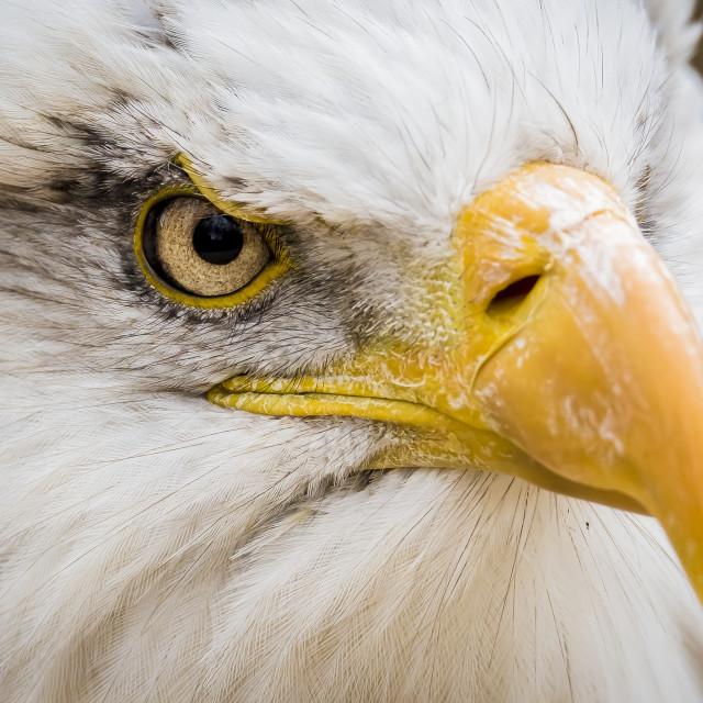 """""""Eagle close"""" stock image"""