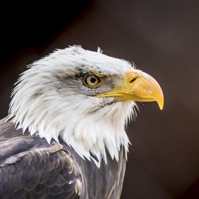 """side profile of Eagle"" stock image"