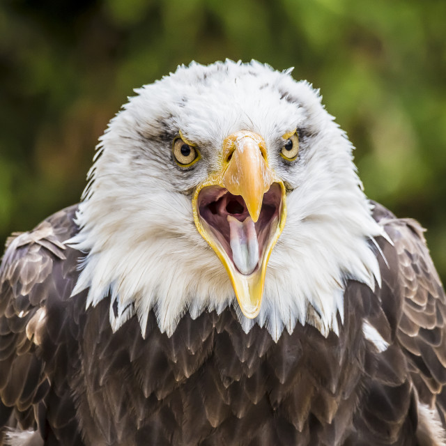 """Eagle cry"" stock image"