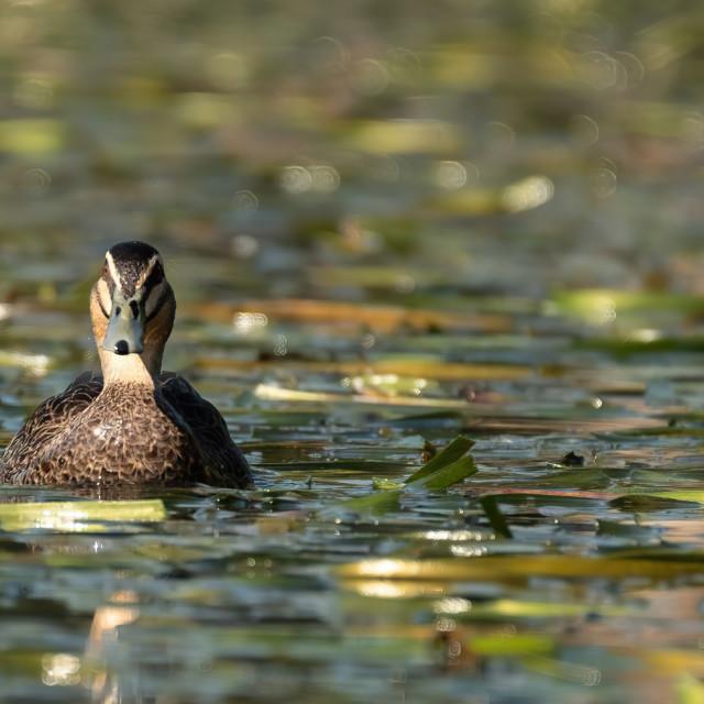 """Pacific Black Ducks"" stock image"
