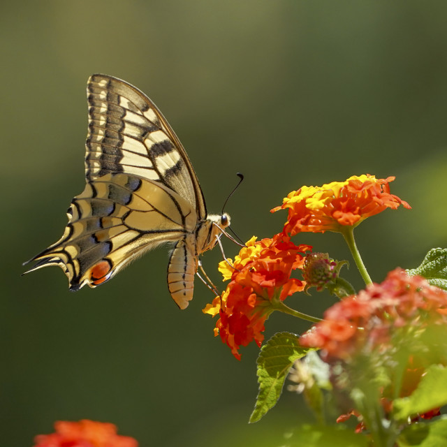 """""""A Common yellow swallowtail, Papilio machaon, sipping nectar, Andalusia, Spain."""" stock image"""