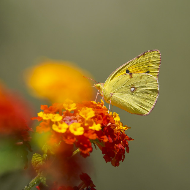 """""""Dark Clouded Yellow or Common Clouded Yellow, butterfly, Colias croceus on Lantana camara, Spain. Andalusia."""" stock image"""