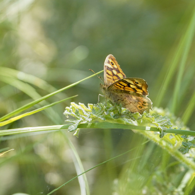 """""""Speckled wood, butterfly, Pararge aegeria, sunbathing, Andalusia, Spain."""" stock image"""