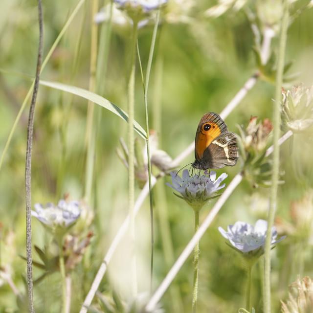 """Spanish gatekeeper, Nymphalidae Pyronia bathseba, butterfly, Andalusia, Spain"" stock image"