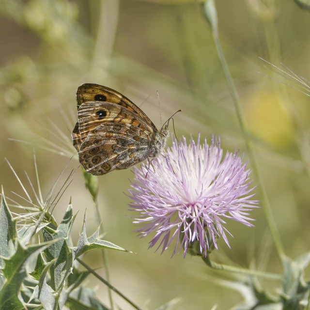 """""""Lasiommata megera, the wall butterfly, or wall brown butterfly, Malaga, Spain."""" stock image"""