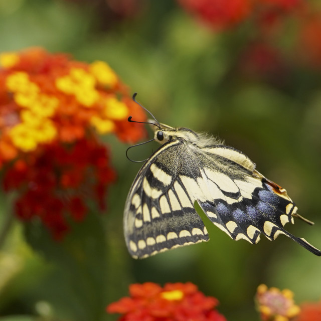 """Common yellow swallowtail, Papilio machaon, in flight"" stock image"