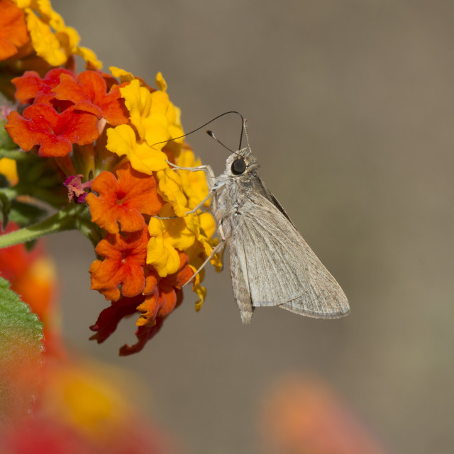 """""""Dingy swift butterfly, light pygmy skipper butterfly, Mediterranean skipper butterfly, Andalusia,Spain"""" stock image"""