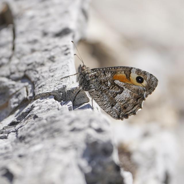 """grayling or rock grayling (Hipparchia semele) resting on rock"" stock image"