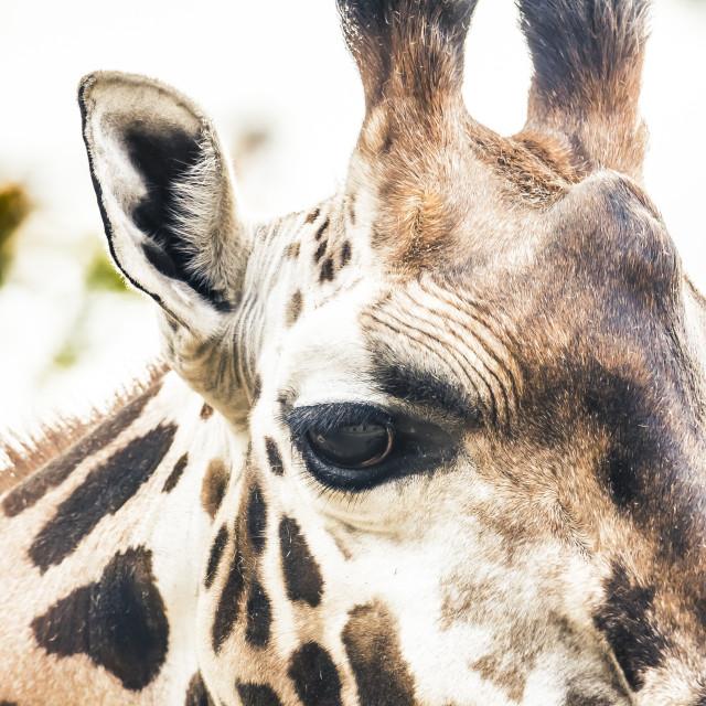 """Cropped Giraffe"" stock image"