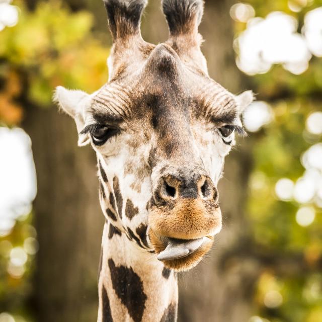 """""""Cheeky Giraffe"""" stock image"""