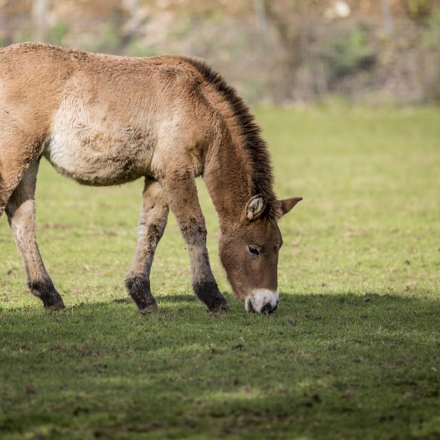 """""""Przewalski's horse"""" stock image"""