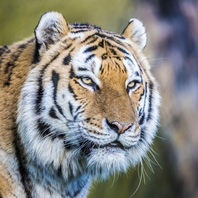"""Amur Tiger color"" stock image"