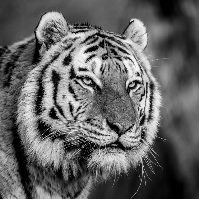 """Amur Tiger portait black and white"" stock image"