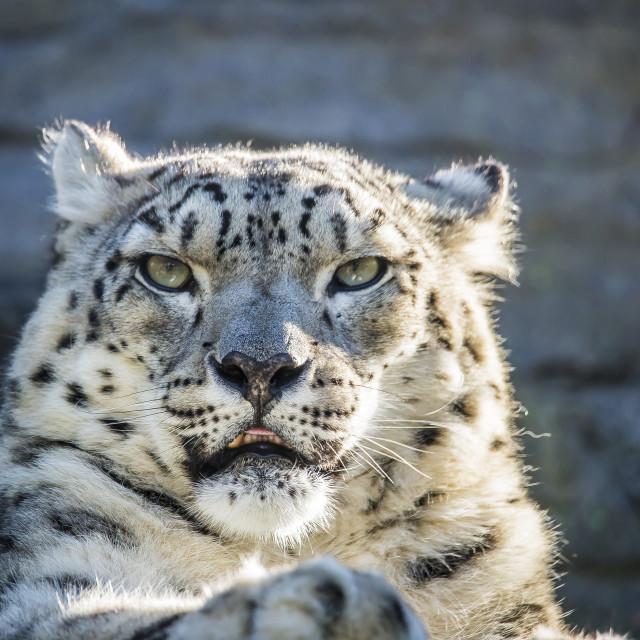 """""""Snow Leopard face on"""" stock image"""