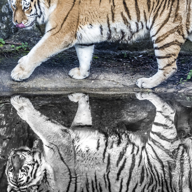 """Black and Colour Amur Tiger"" stock image"