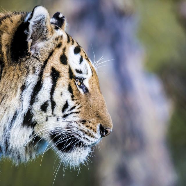 """Amur Tiger Side Profile"" stock image"