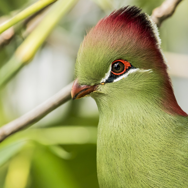 """""""Fischer's Turaco"""" stock image"""