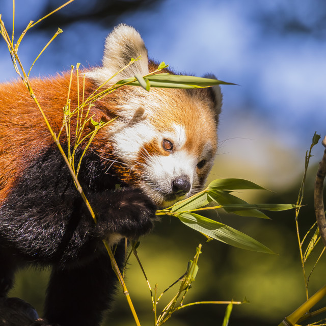 """""""Red Panda lunch"""" stock image"""