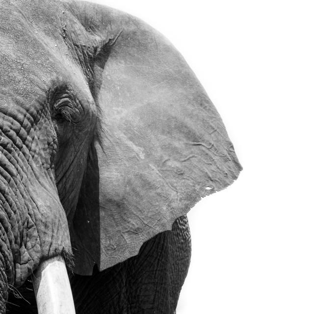 """Elephant portrait"" stock image"