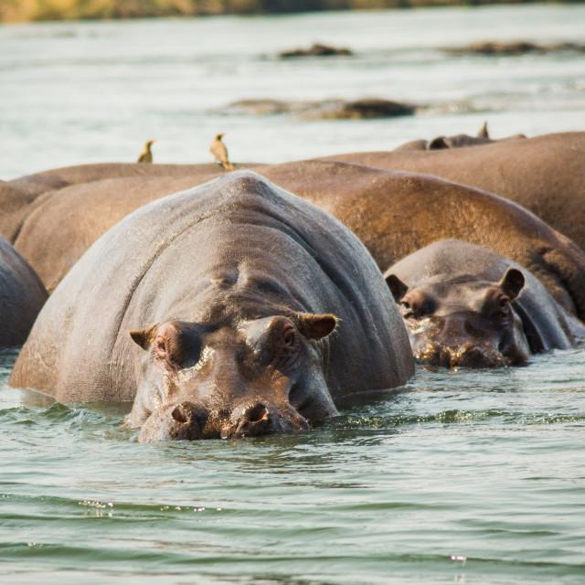 """""""Hippo!"""" stock image"""