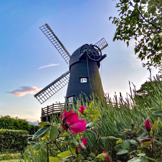 """""""Windmill Roses"""" stock image"""
