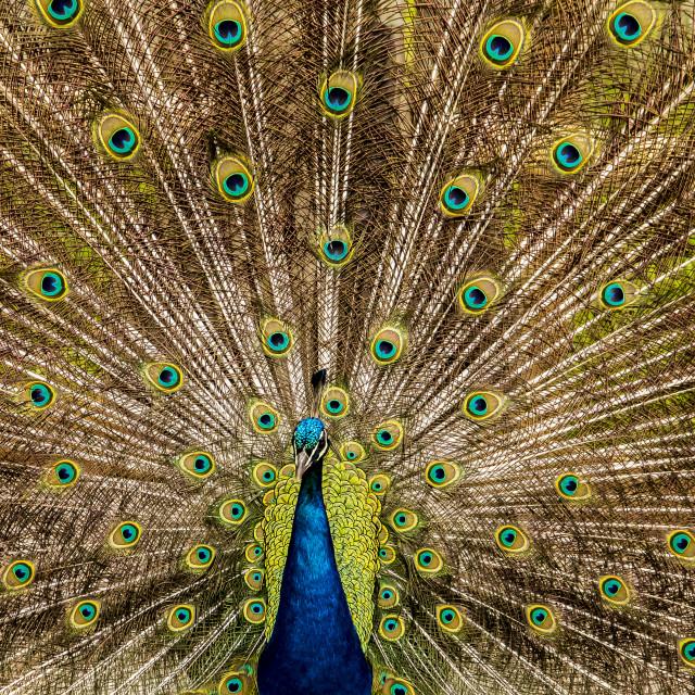 """Peacock's million eyes"" stock image"