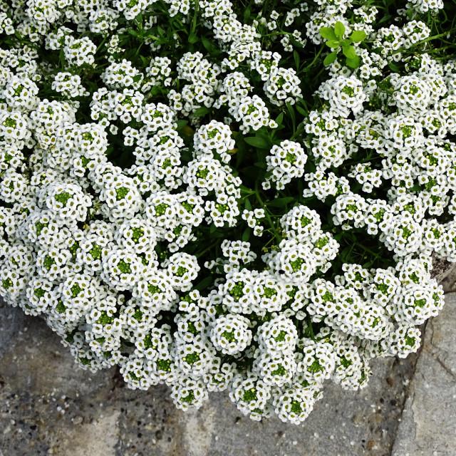 """Lobularia 'Snow Crystals',plant in bloom, Zagreb, Croatia"" stock image"