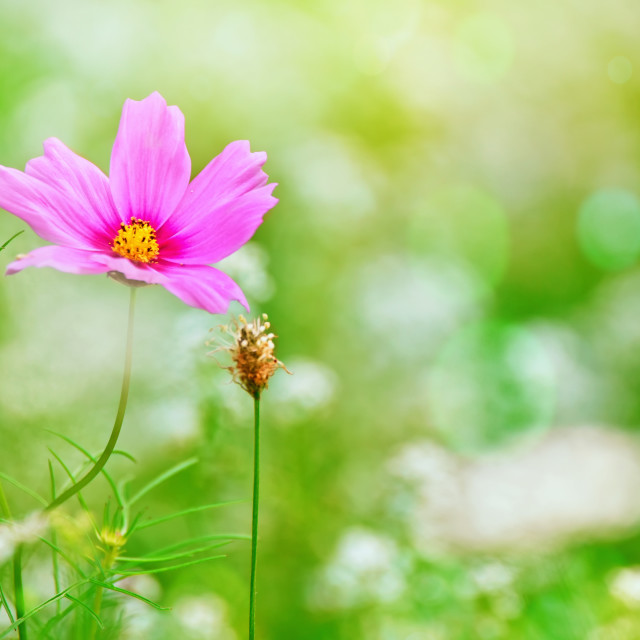 """""""Pink Cosmos and Baby's Breath 2"""" stock image"""