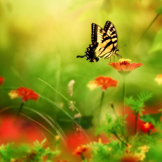 """The Yellow Swallowtail"" stock image"