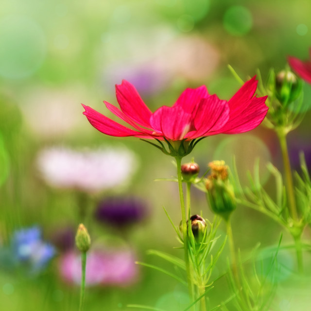 """""""Red Cosmos"""" stock image"""