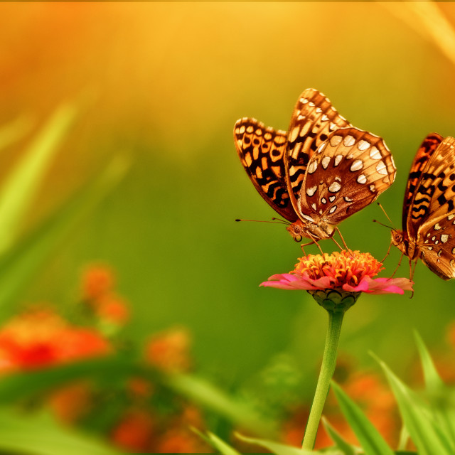 """""""Double Painted Ladies"""" stock image"""