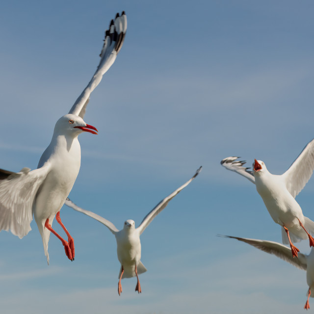 """Gulls dancing in the sky"" stock image"