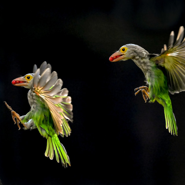 """""""Lineated Barbet Flight Sequence 01"""" stock image"""
