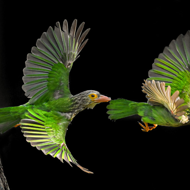 """""""Lineated Barbet Flight Sequence 02"""" stock image"""