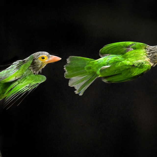 """""""Lineated Barbet Flight Sequence 03"""" stock image"""
