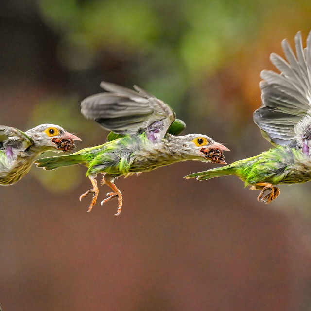 """""""Lineated Barbet Flight Sequence 04"""" stock image"""