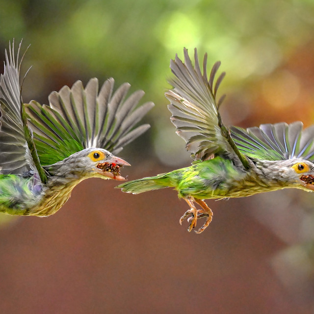 """""""Lineated Barbet Flight Sequence 05"""" stock image"""