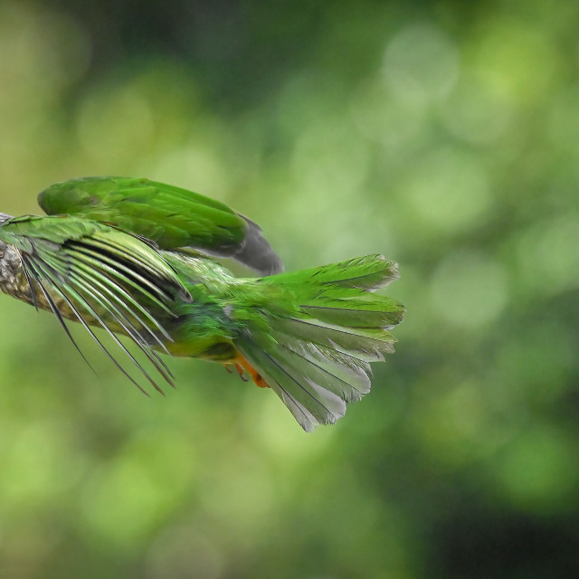 """""""Lineated Barbet 04"""" stock image"""