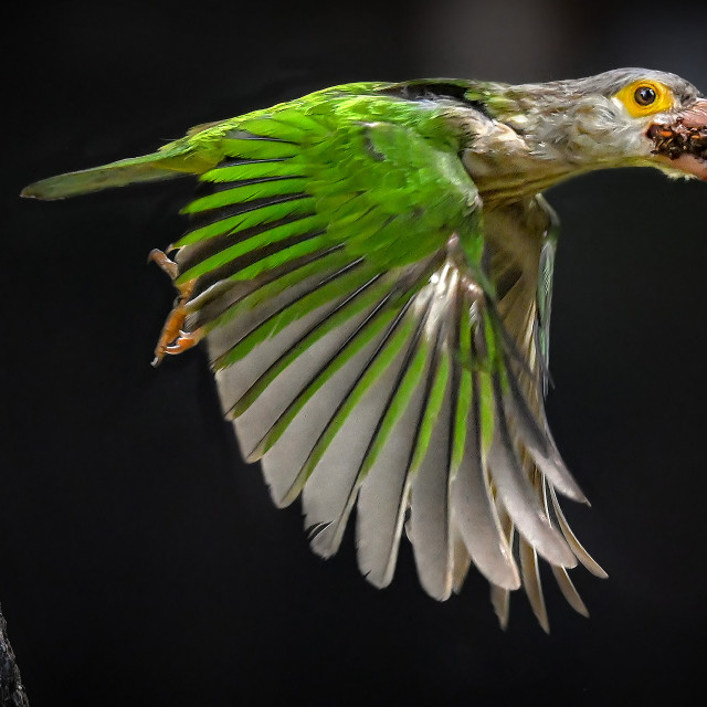 """""""Lineated Barbet 05"""" stock image"""