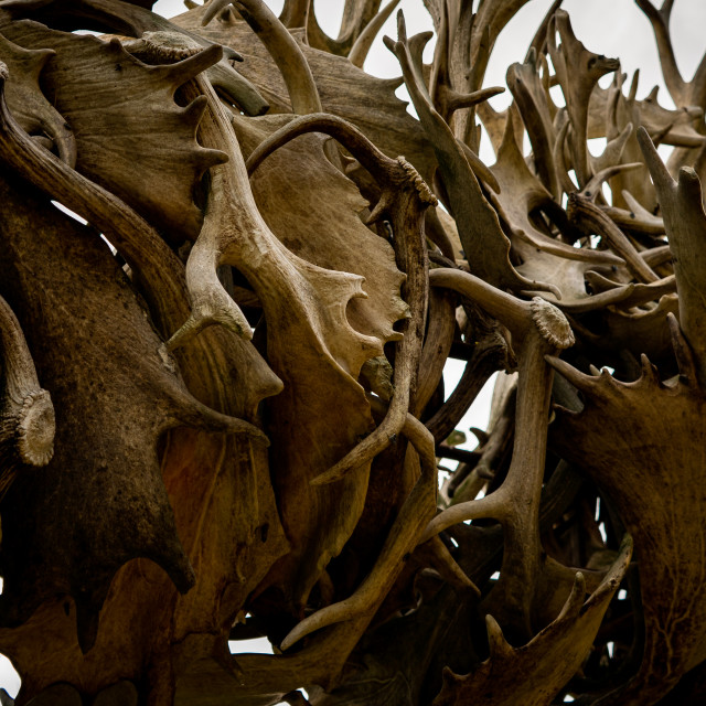 """""""Antlers on Antlers"""" stock image"""