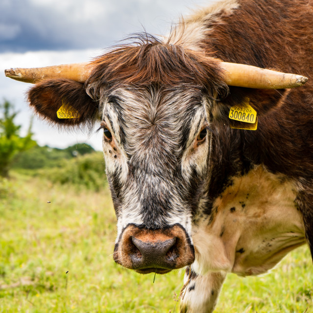 """""""The cow"""" stock image"""