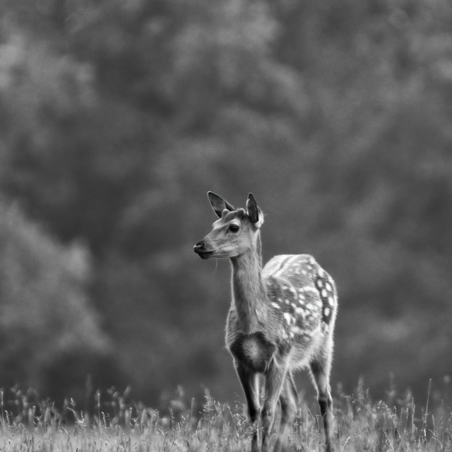 """Fallow Deer standing before the Forest"" stock image"