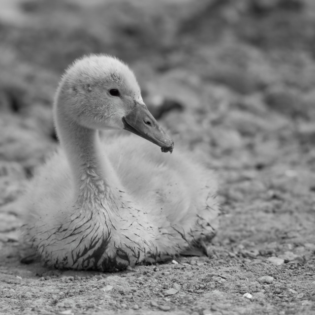 """Cygnet on the Sand"" stock image"