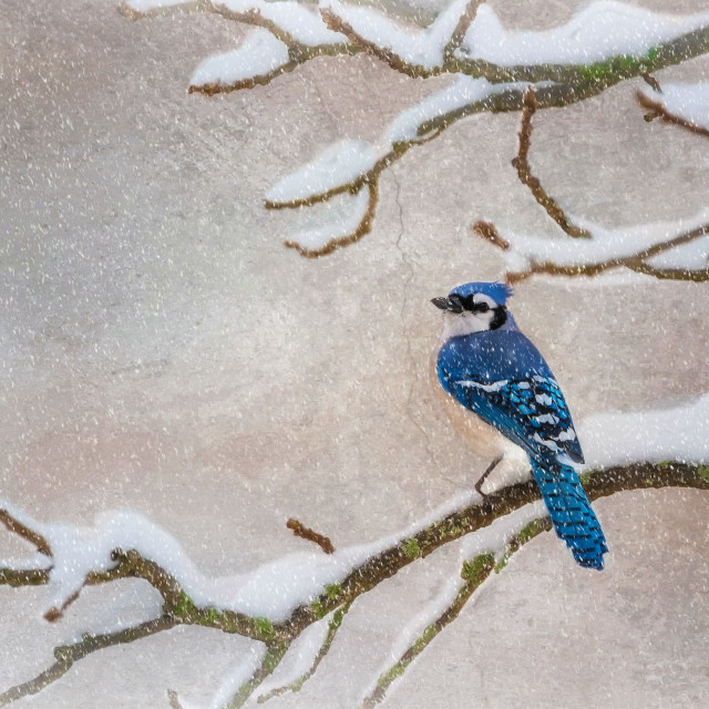 """Blue Jay"" stock image"