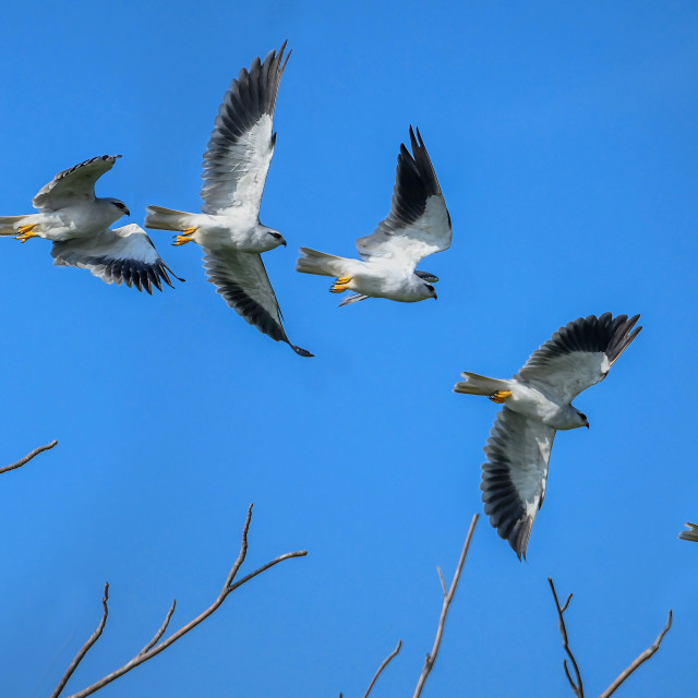 """""""Black Winged Kite Sequence 01"""" stock image"""