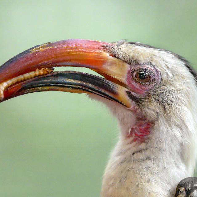 """""""Von der Decker's Hornbill"""" stock image"""