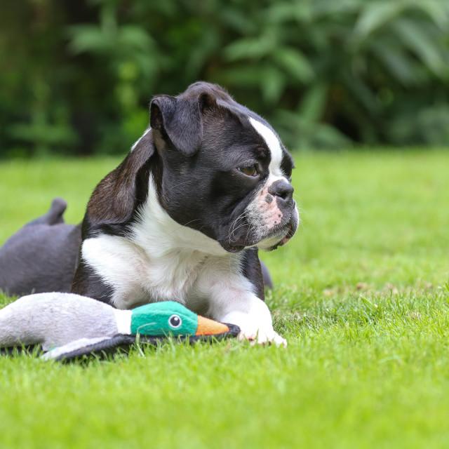 """Boston Terrier"" stock image"