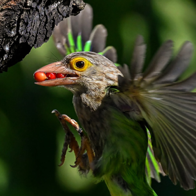 """""""Lineated Barbet 08"""" stock image"""