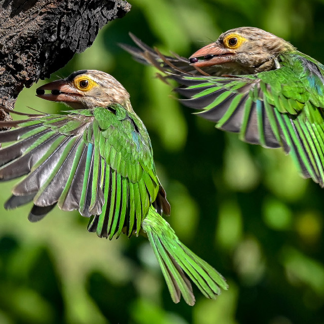 """""""Lineated Barbet Flight Sequence 10"""" stock image"""